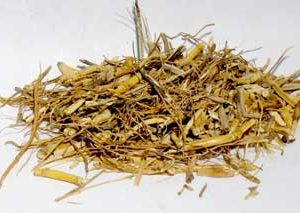 Witches Grass (Agropyron repens) - Cut